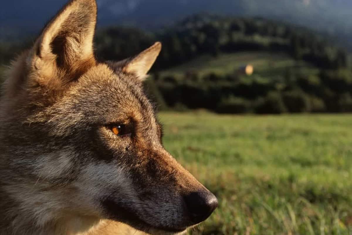 Der Europäische Wolf