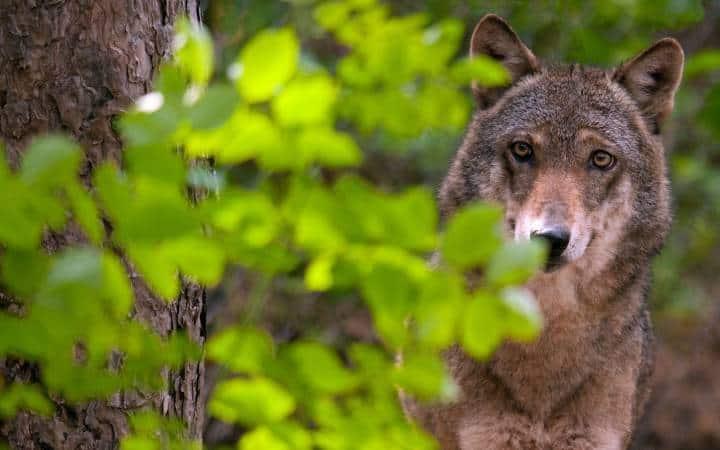 wolf-fragen-und-antworten-wolf-hinter-strauch