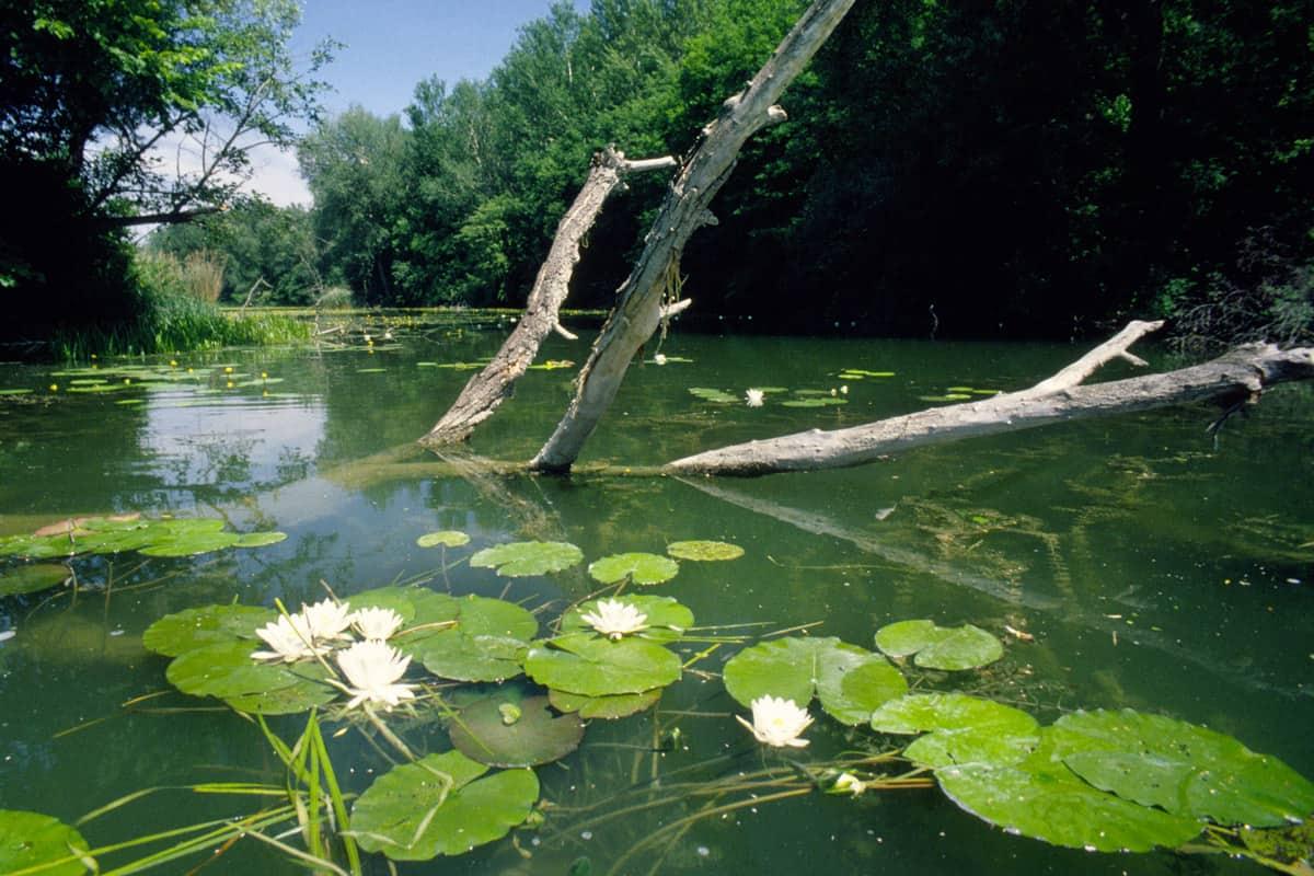 Seerosen Donauauen
