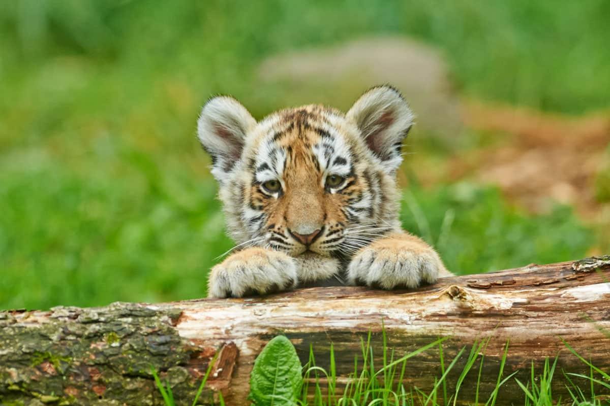Armur-Tigerjunges blickt über Baumstamm