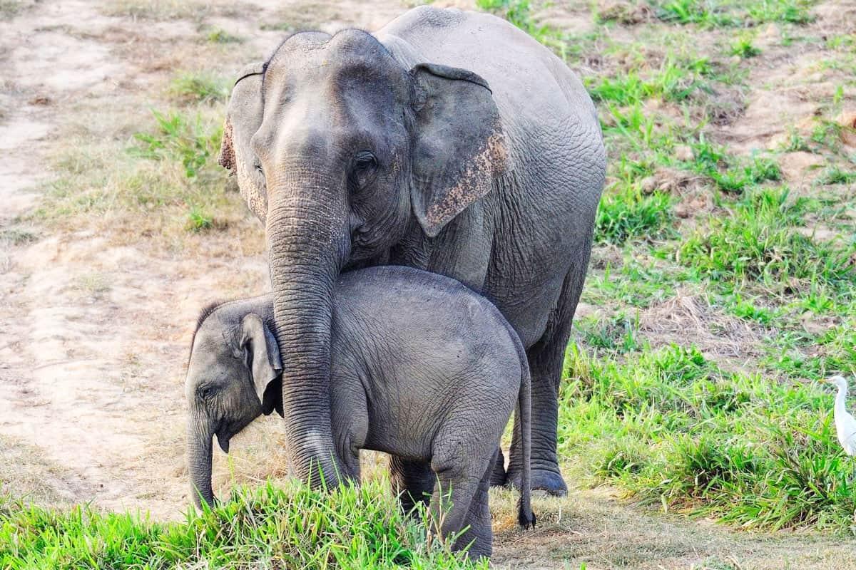 Asiatischer Elefant - Mutter mit Junges