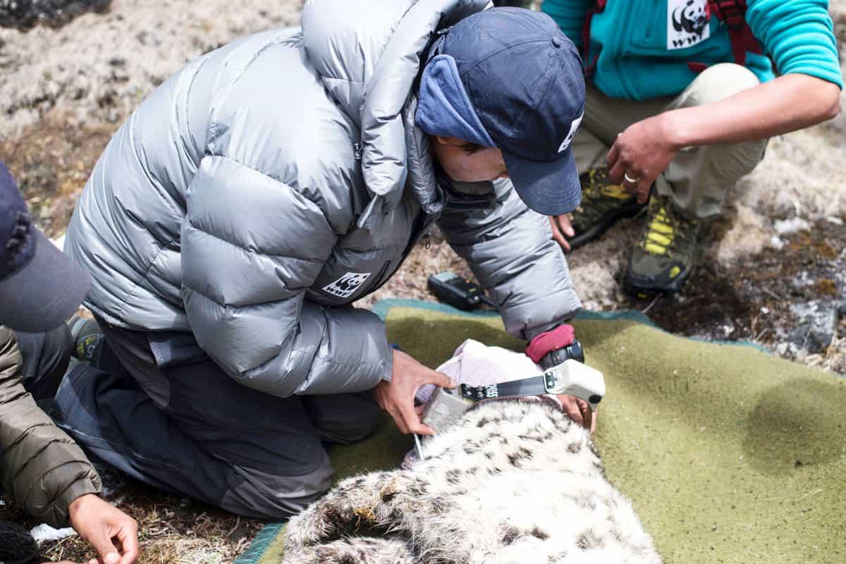 Besenderung eines Schneeleoparden