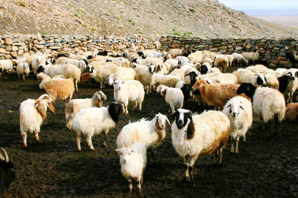 Eine Schafherde in der Altai-Sayan Region