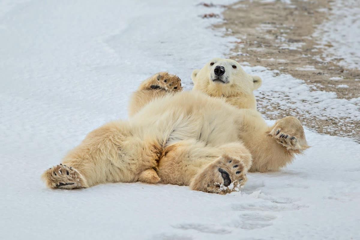 Eisbär liegt gemütlich am Rücken