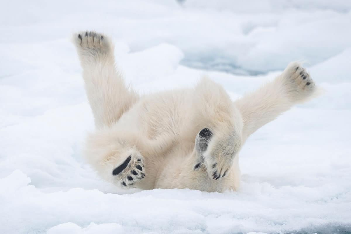 Eisbär streckt sich auf Eisscholle