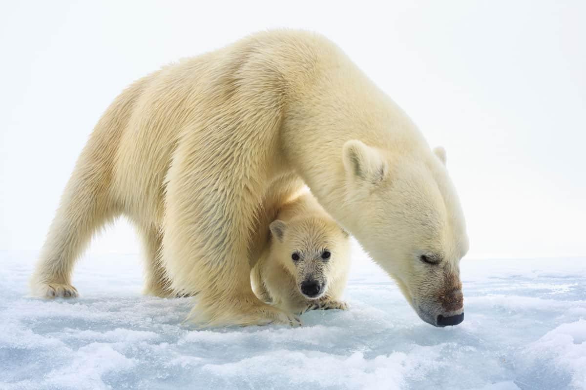 Eisbärenweibchen mit einem einzelnen, erst wenige Monate altem Jungtier