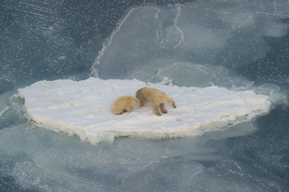 Eisbär und Jungtier suchen Zuflucht auf einer Eisscholle