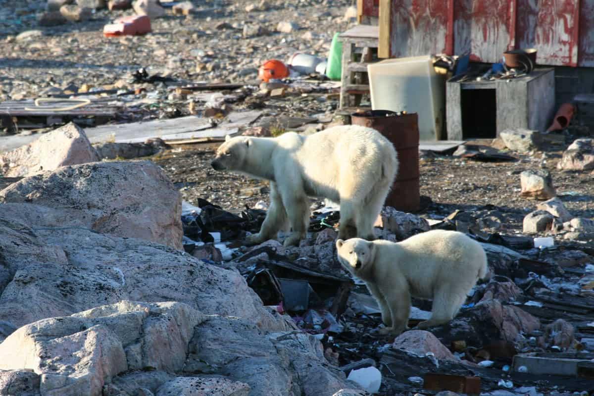 Eisbärmutter und Junges auf Nahrungssuche in Siedlung