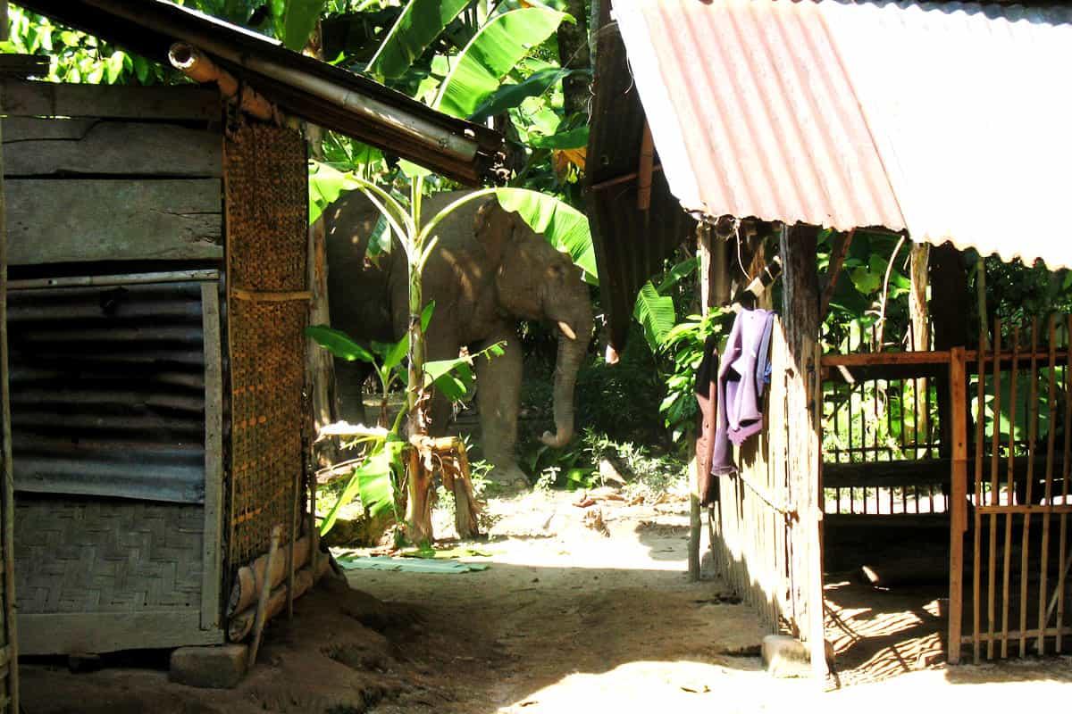 Freilebender Sumatra-Elefant in einem Dorf