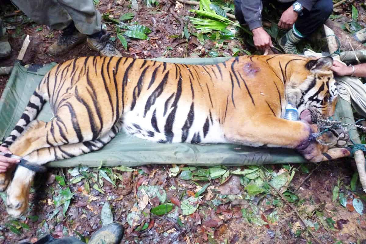 Ein in einer Schlingfalle gefangener Tiger wird von Wildhüter*innen gerettet
