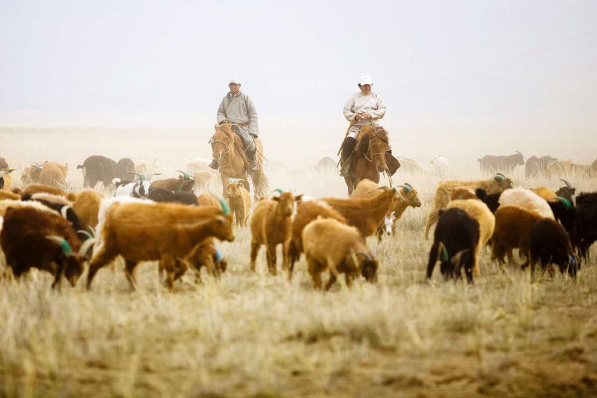 Hirten inmitten ihres Viehs