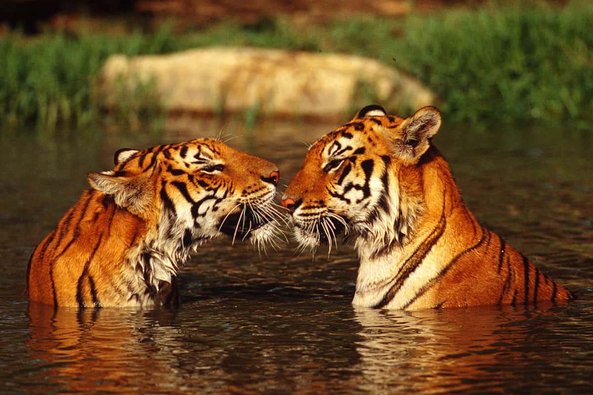 Zwei Indische Tiger im Wasser