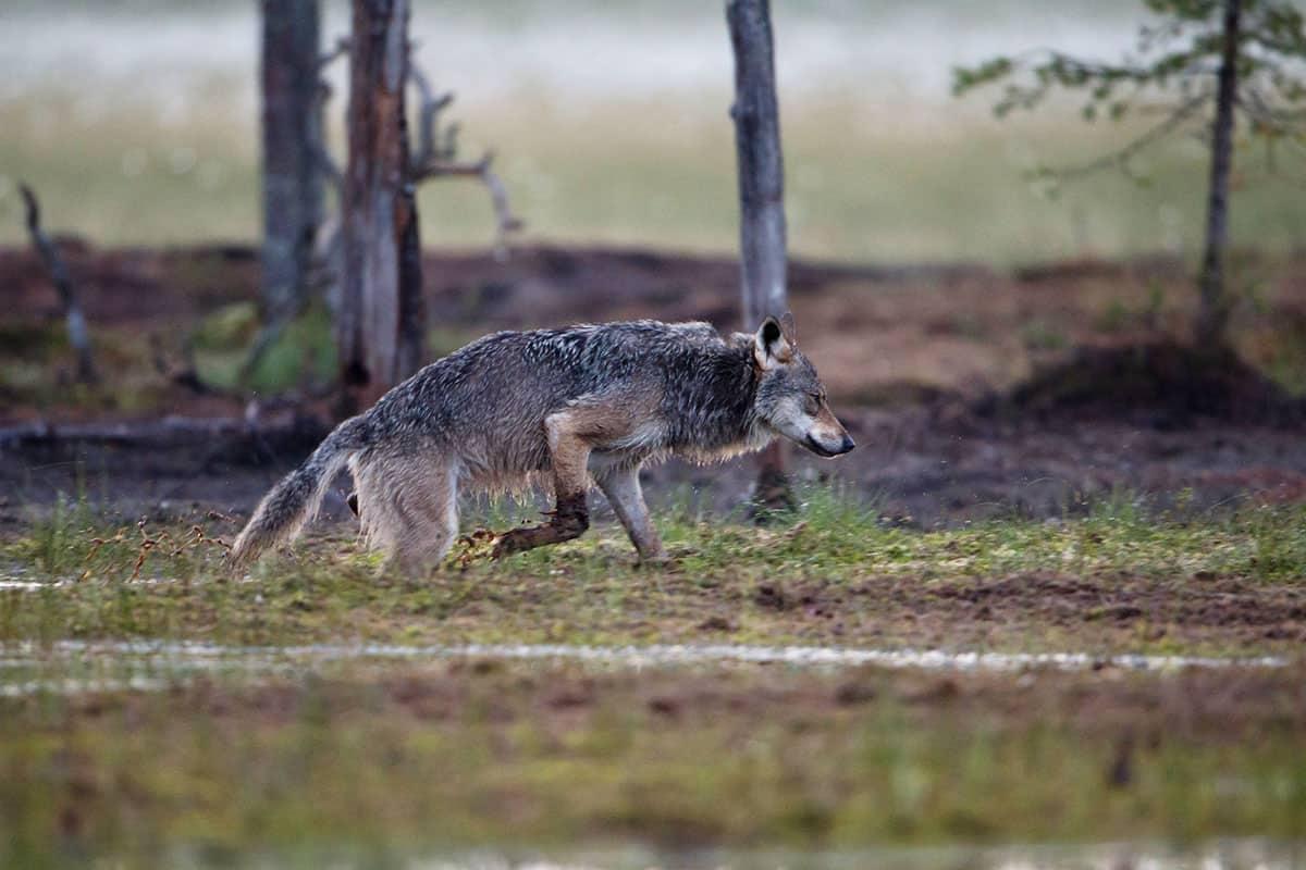 Laufender Wolf im Matsch