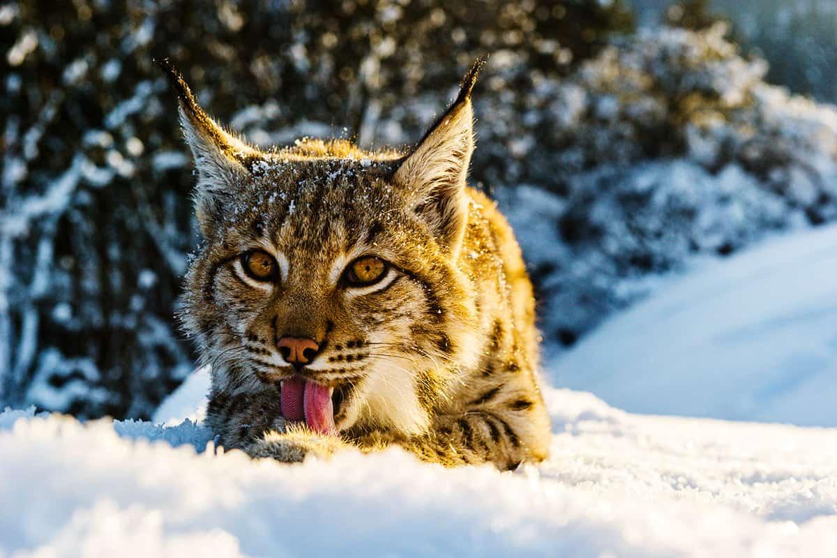 Luchs im Schnee (c)Tomas Hulik