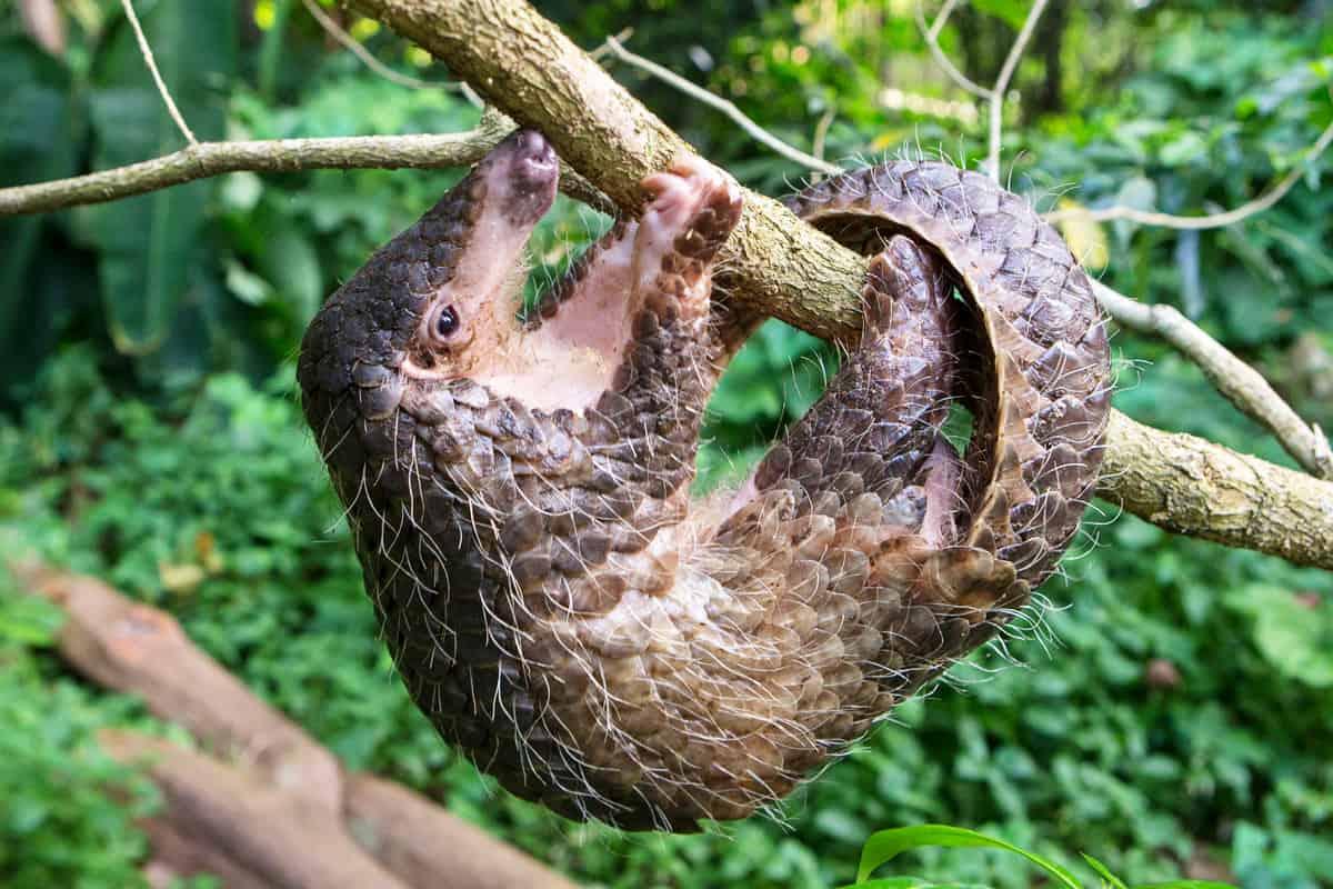 Malaiisches Schuppentier hängt an einem Ast