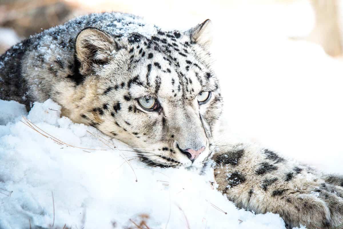 Schneeleopard ruht im Schnee