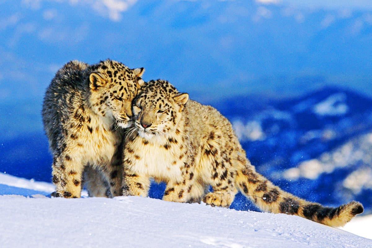 Schneeleopardenpaar im Hochgebirge