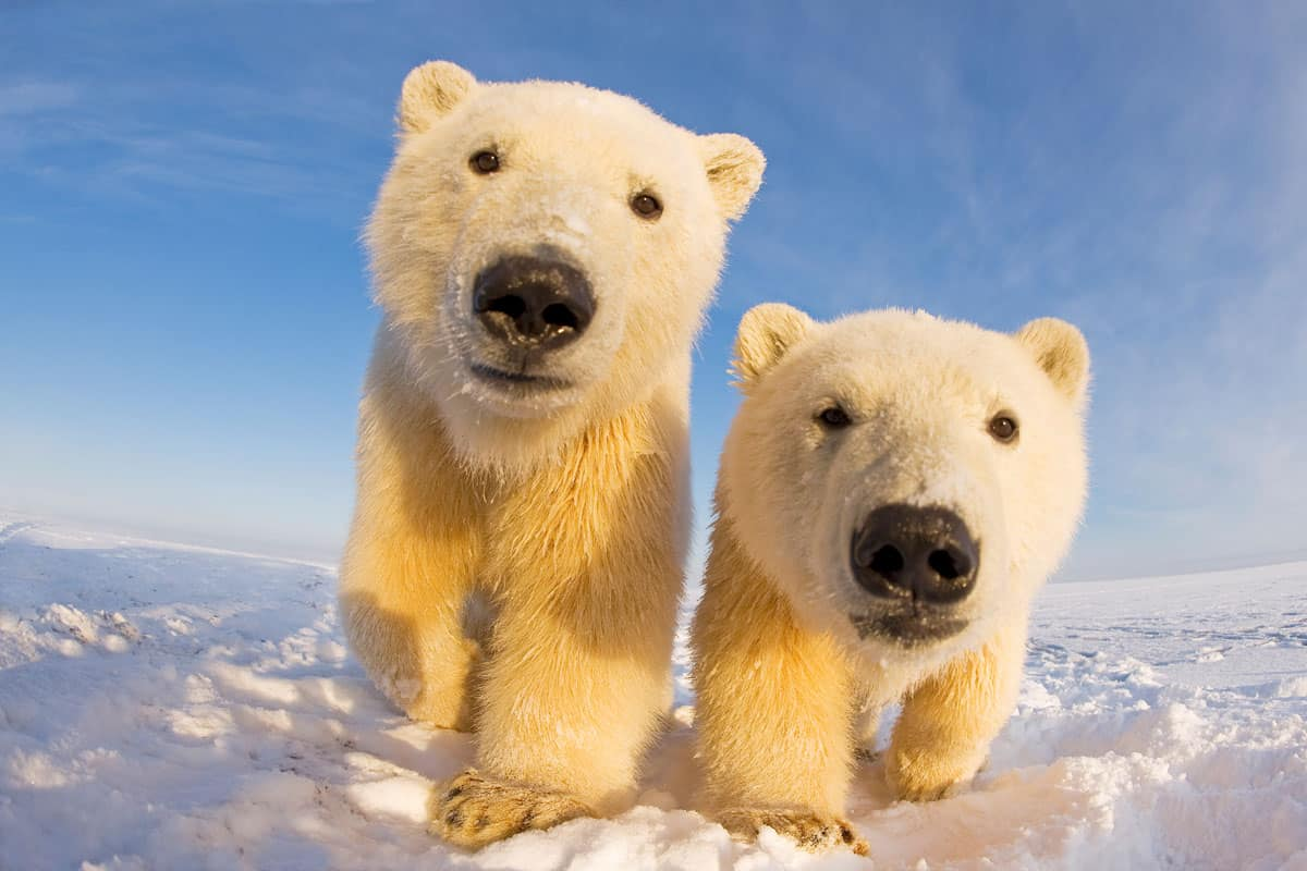 Zwei Eisbaeren schauen in die Kamera - Nahaufnahme