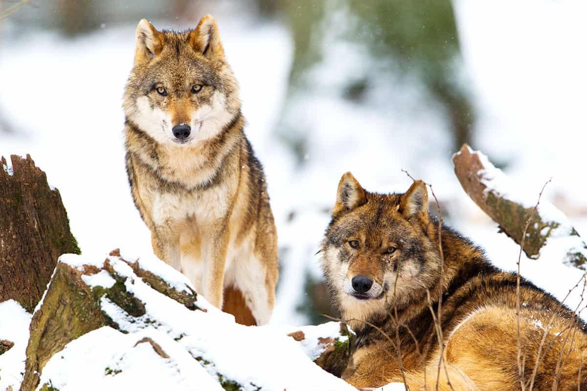 Zwei Wölfe im Schnee