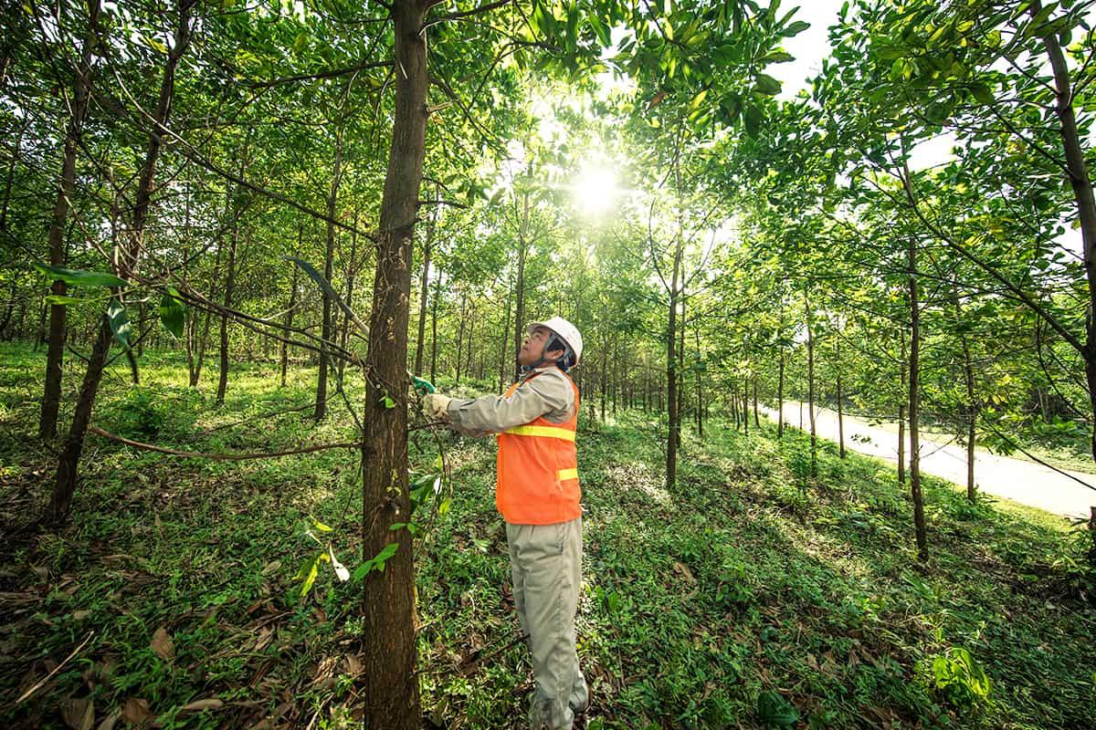 Arbeit auf einer FSC zertifizieren Acacia Plantage, Vietnam