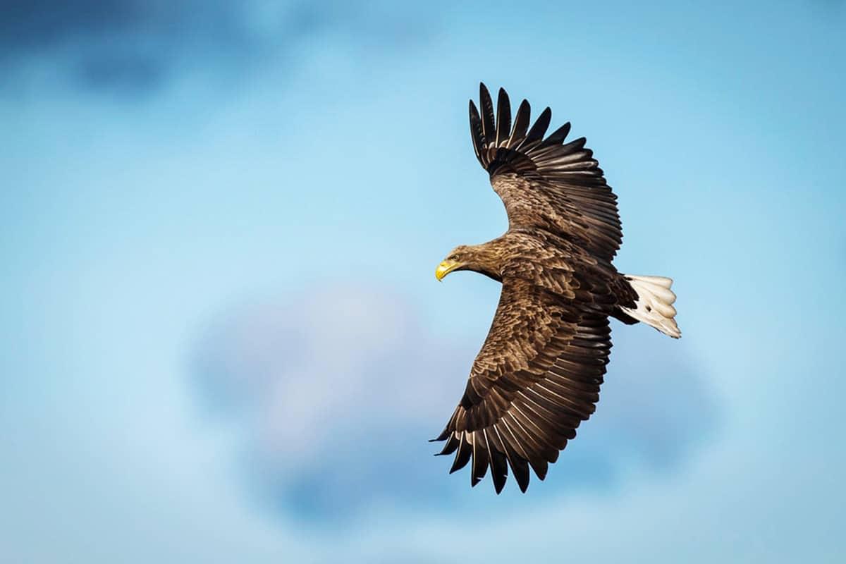 Ein Adler fliegt am blauen Himmel