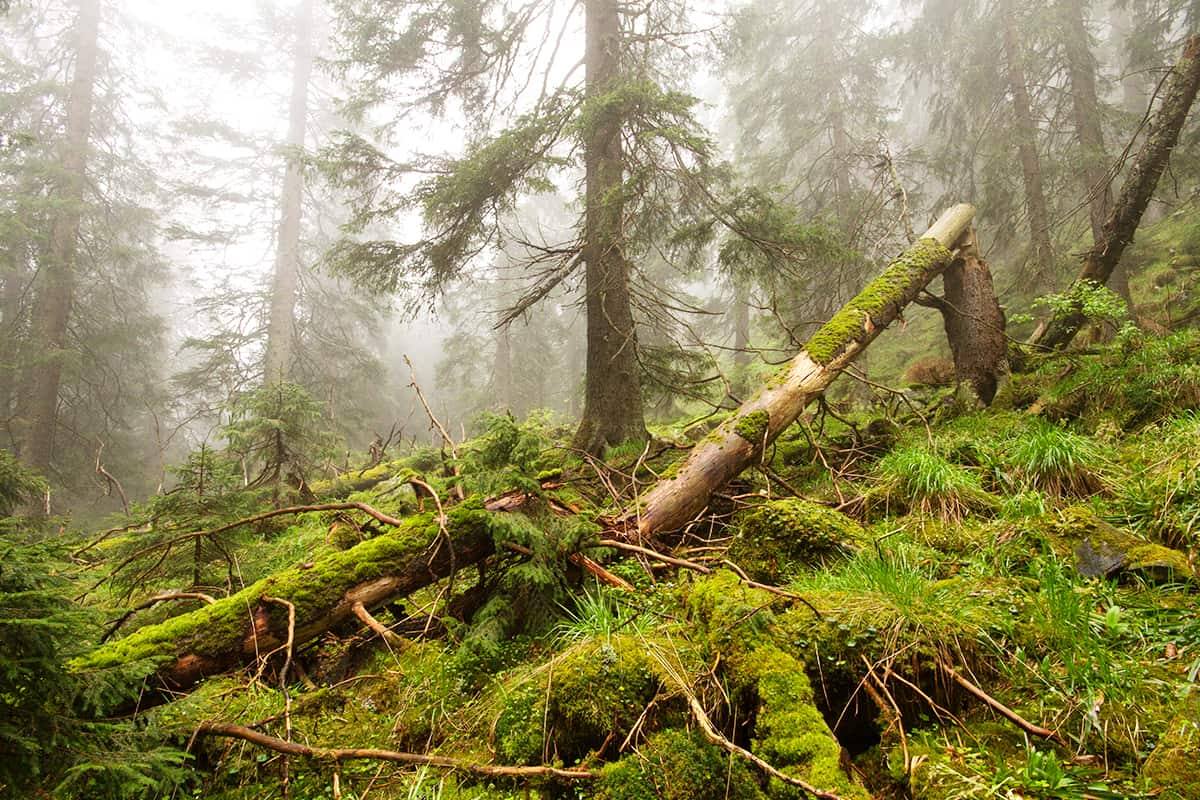 Urwald in Oblast Transkarpatien, Ukraine