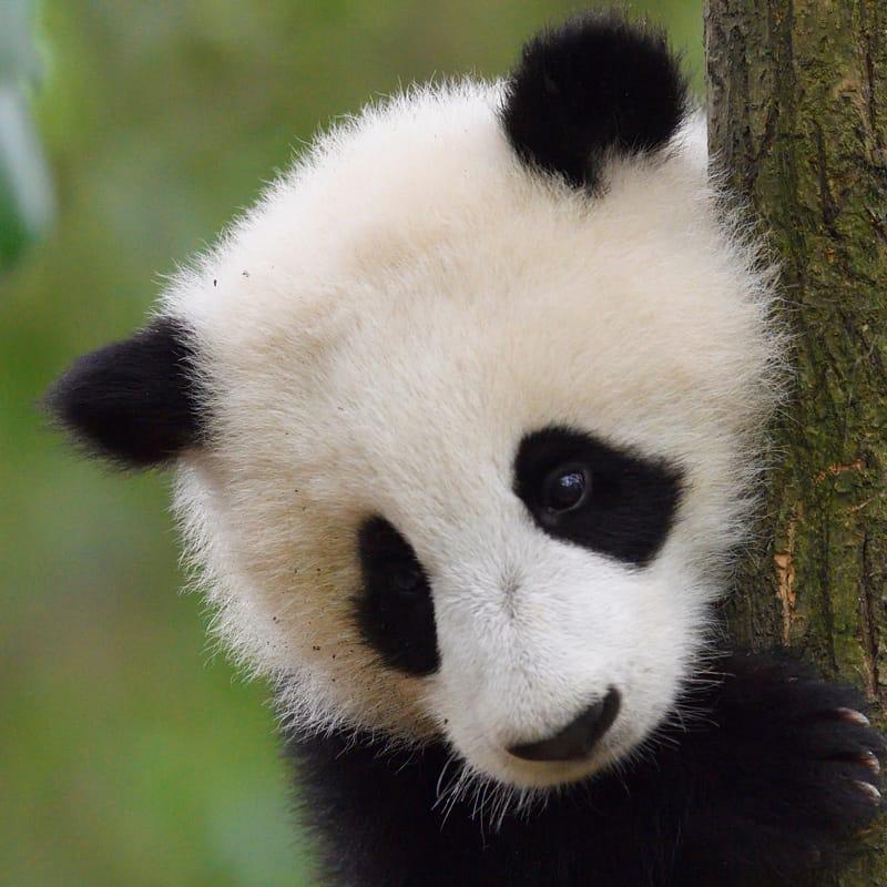 Großer Panda auf einem Baum