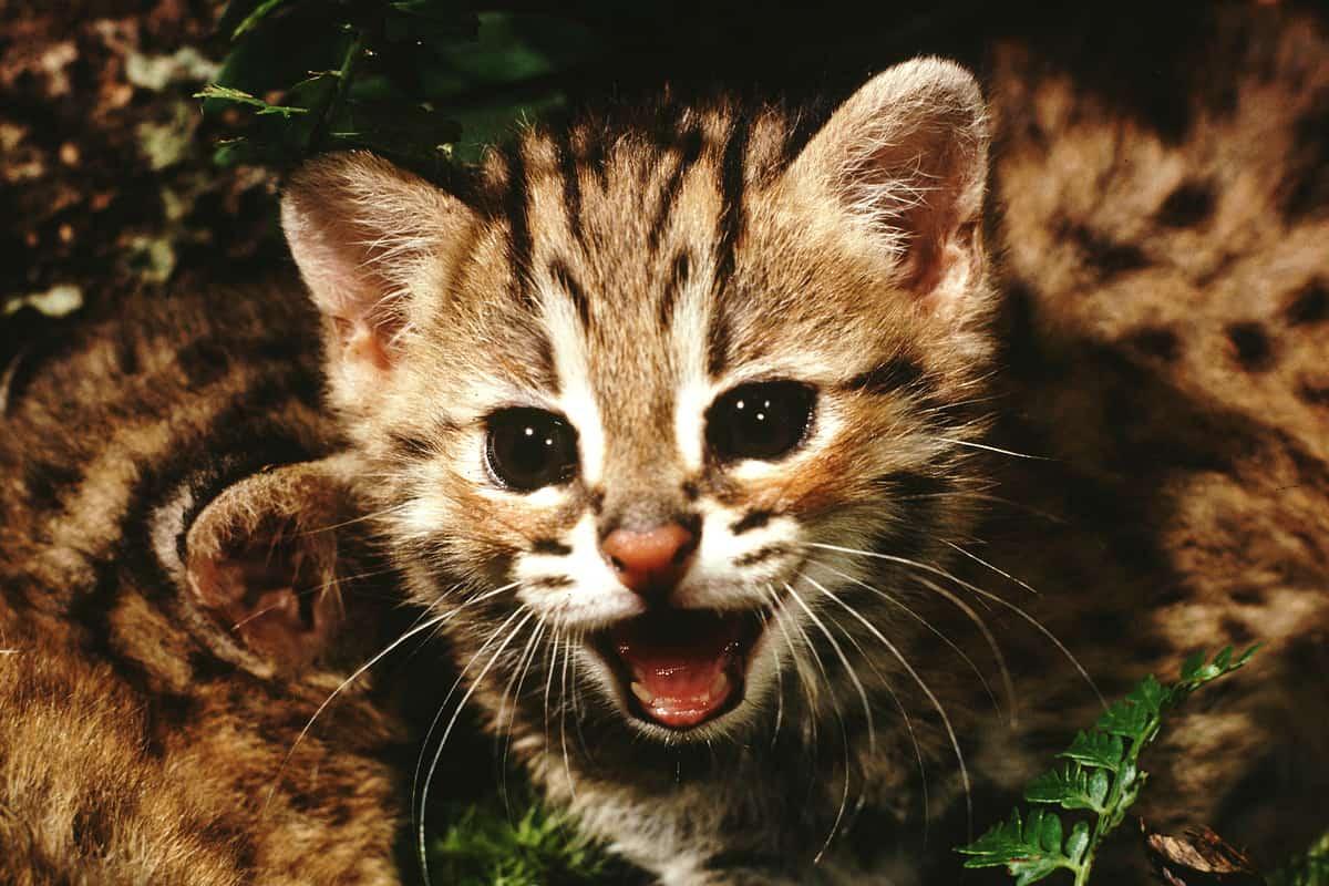 Nahaufnahme eines Bengalkatzen-Junges
