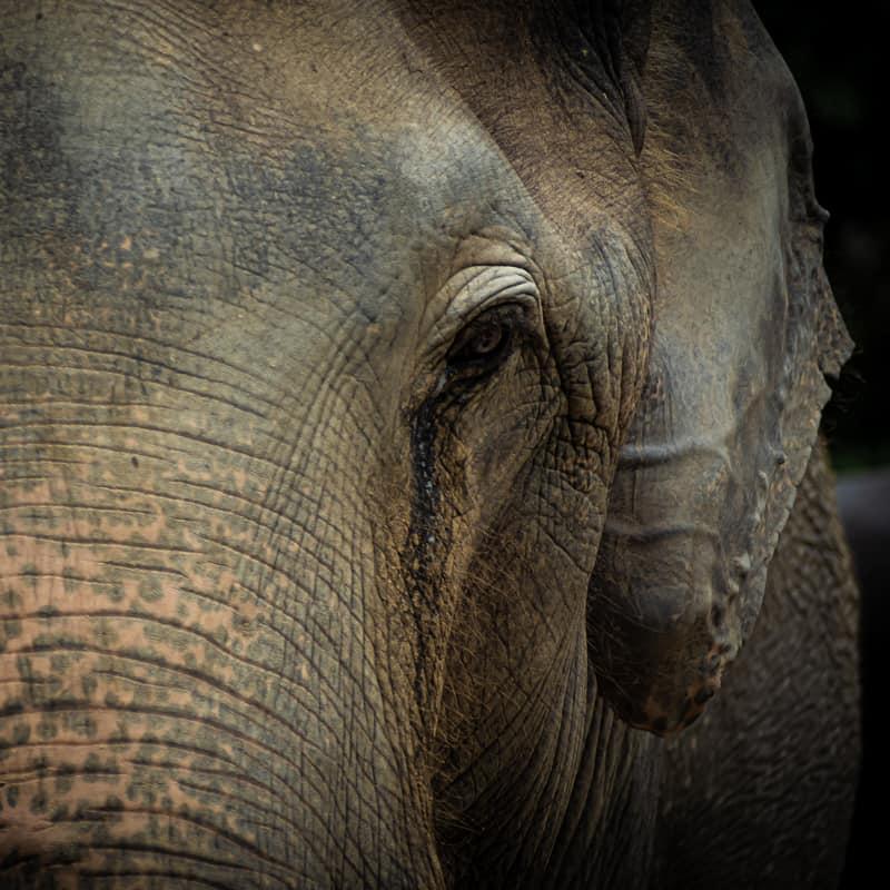 Nahaufnahme eines Asiatischen Elefanten