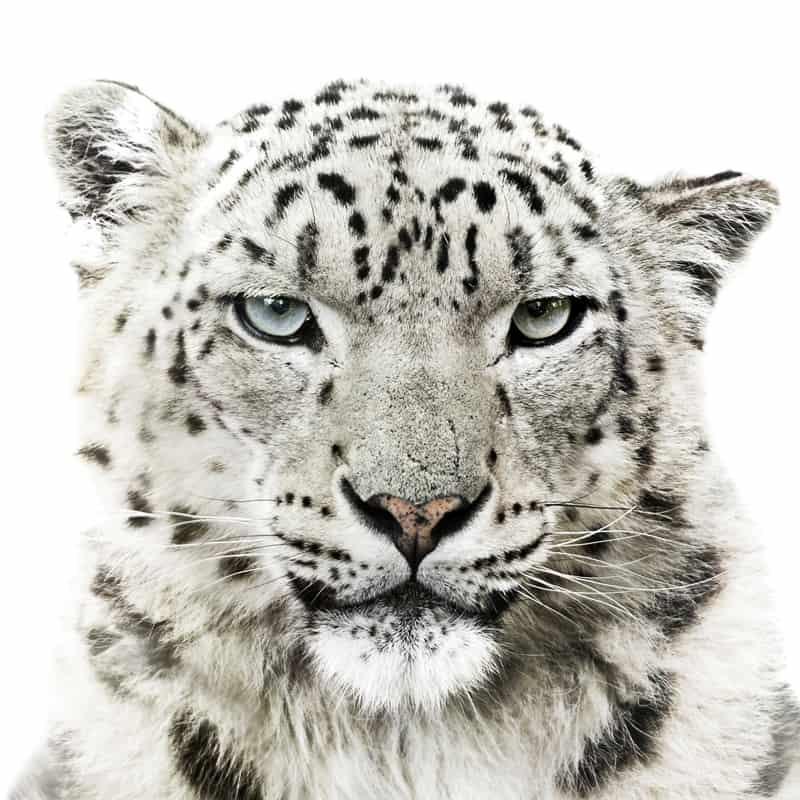 Nahaufnahme eines Schneeleoparden