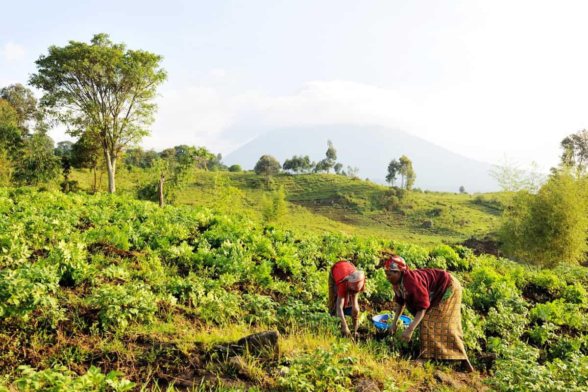 Frauen bei der Kartoffelernte Virunga Nationalpark