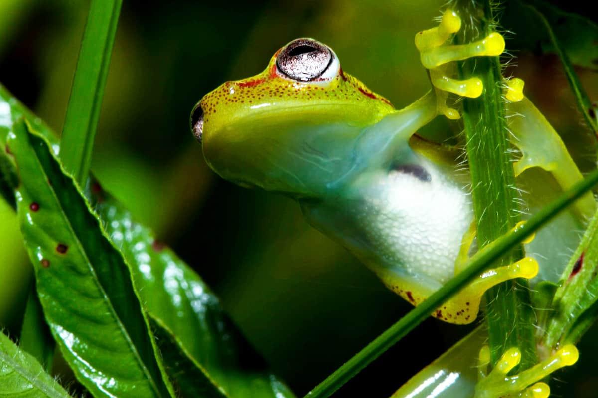 Frosch im peruanischen Amazonasgebiet