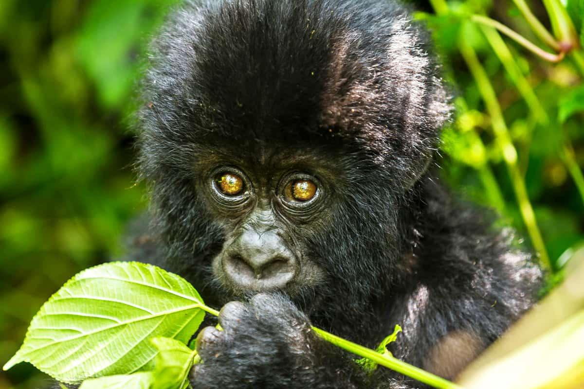 Nahaufnahme eines Berggorilla-Junges im Virunga Nationalpark