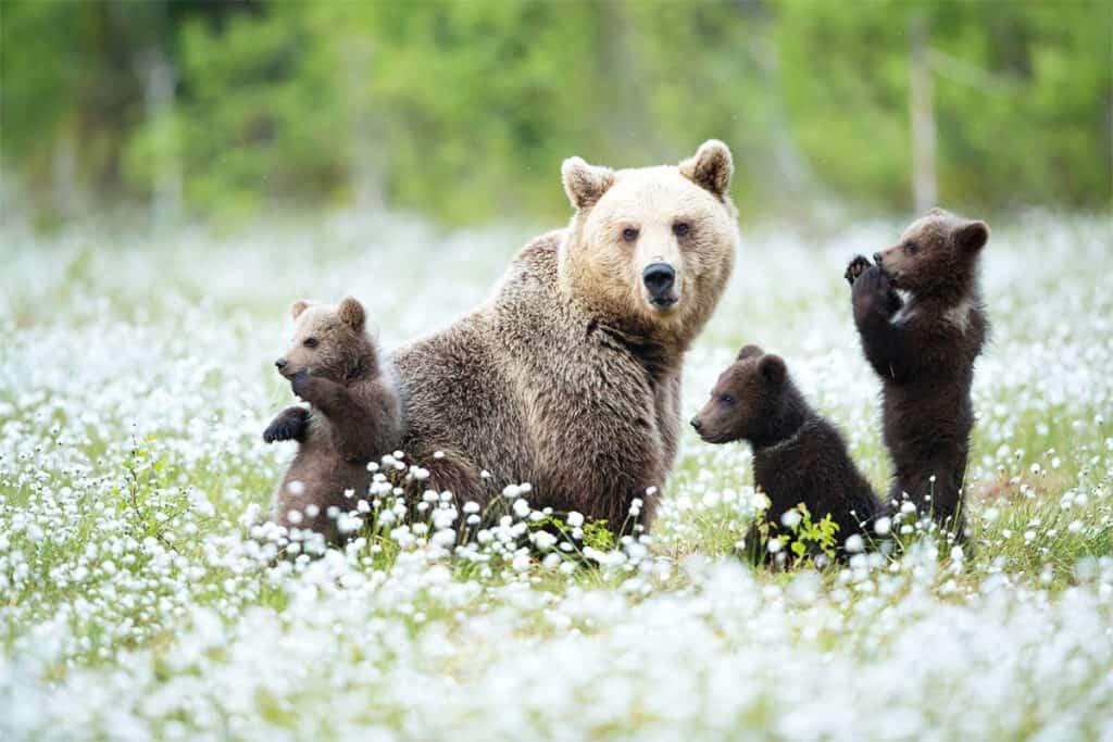 Braunbär-Mutter mit Jungtieren