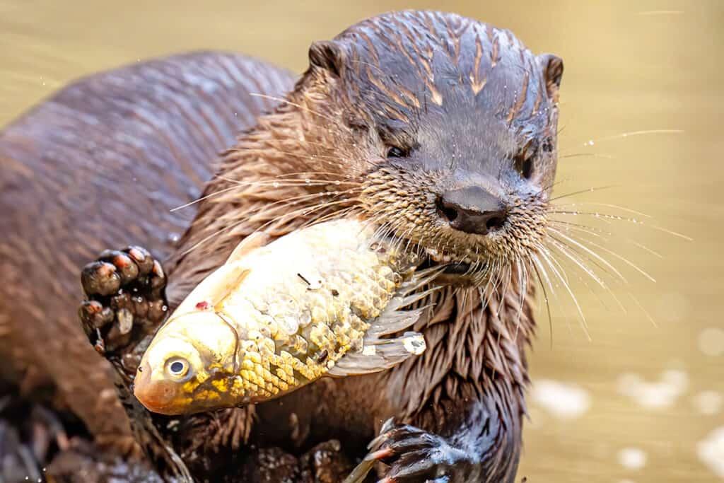 Fischotter mit einem Fisch im Maul
