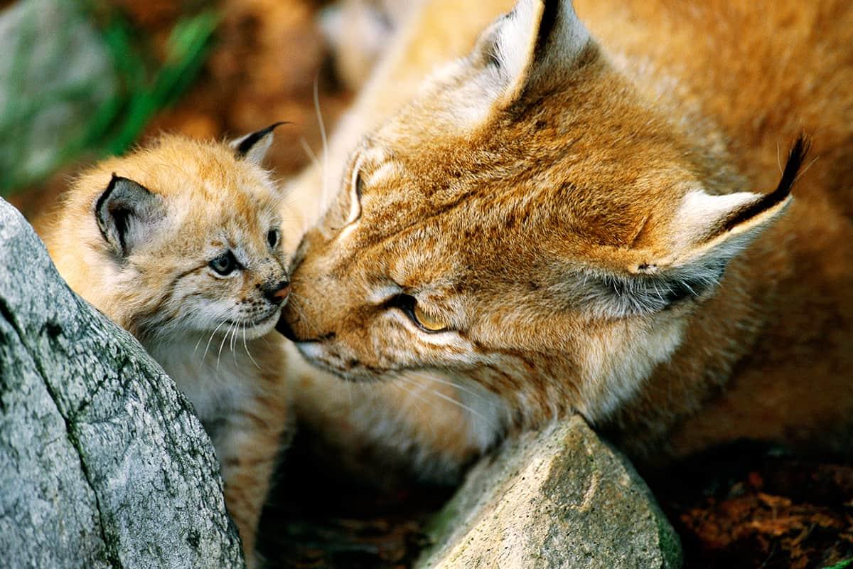 Luchs-Mutter mit Jungtier