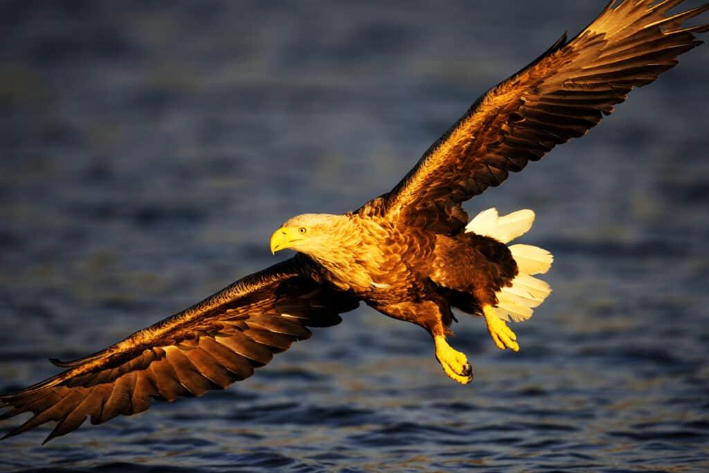 Seeadler fliegt über Wasser