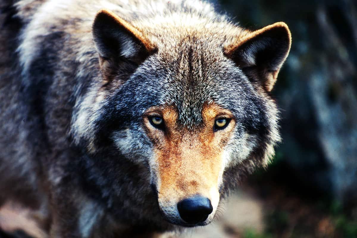 wwf-at_Wolf_Nahaufnahme_