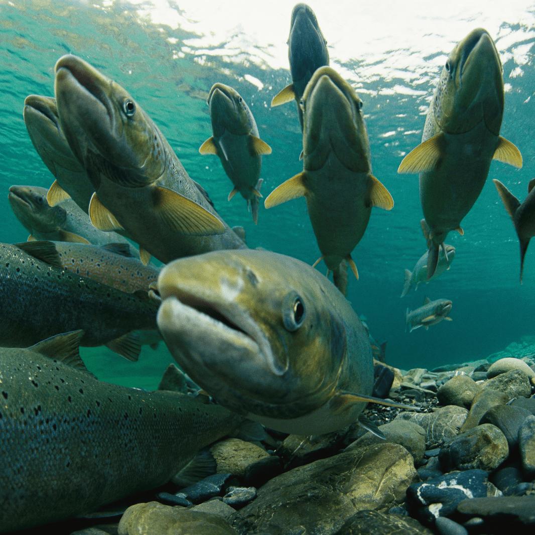 Atlantischer Seelachs