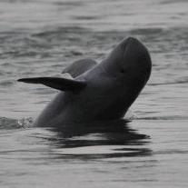 Irawadi Delfin
