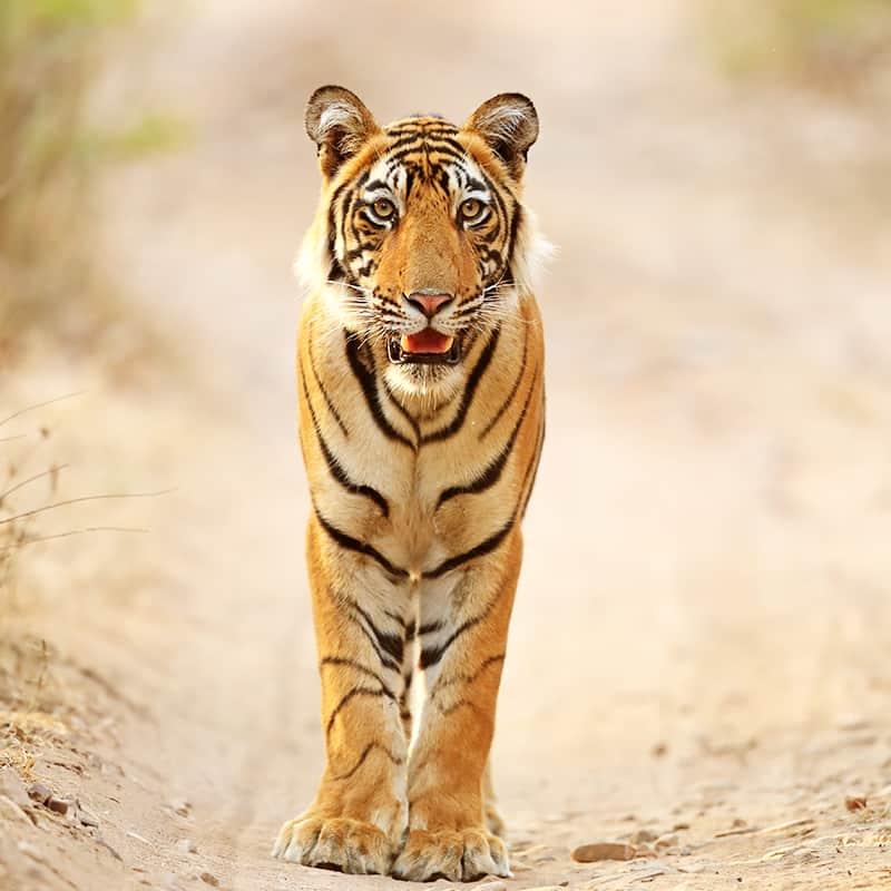 11final_wwf-at_Tiger_Bengaltiger_