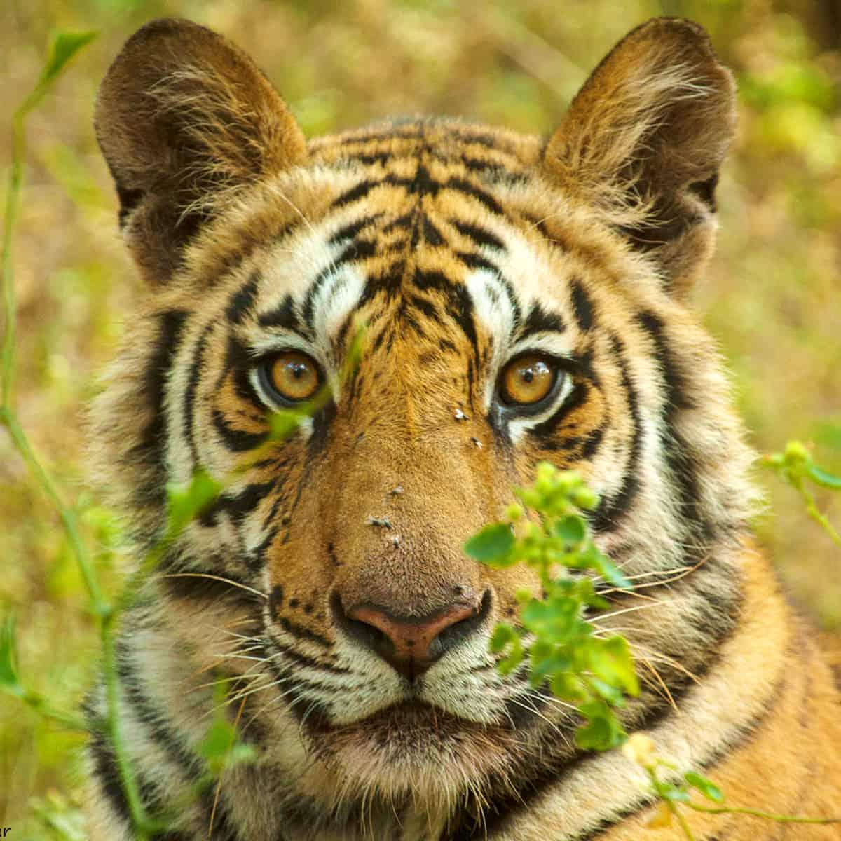 Tiger Blickkontakt