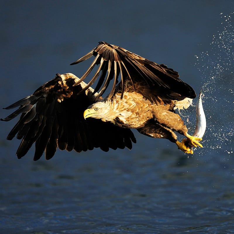 Seeadler Jagt