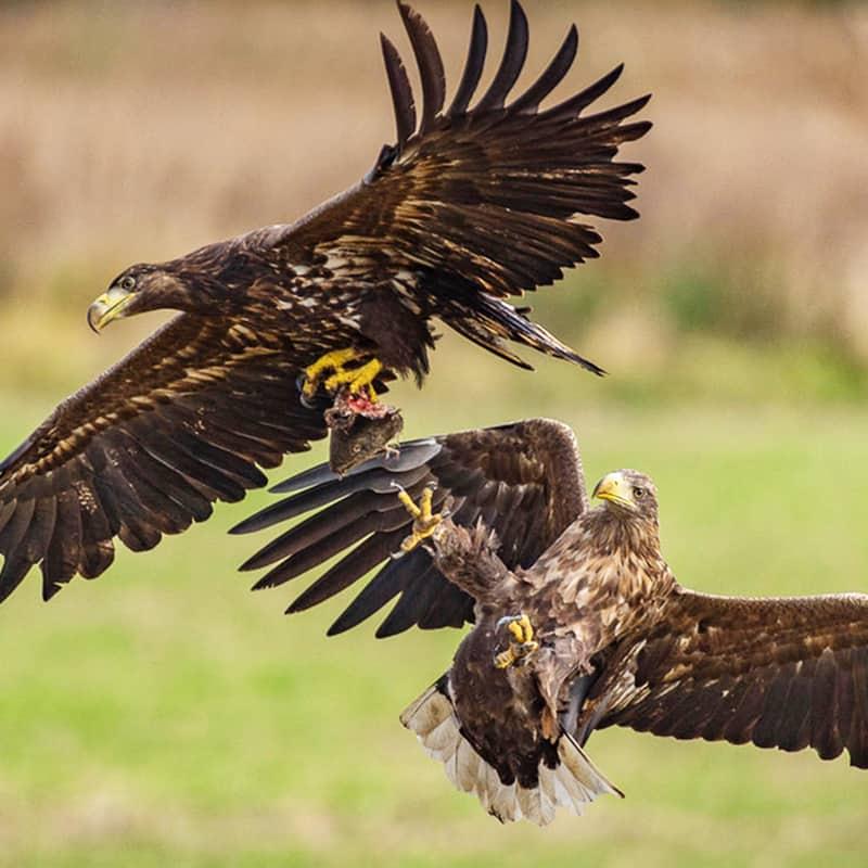 Seeadler Kampf