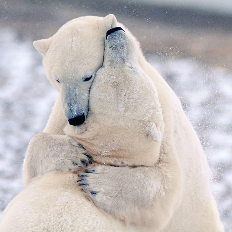Eisbär Kampf
