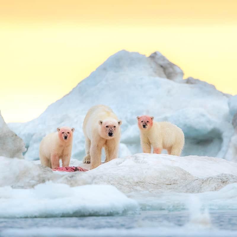 Eisbär Sonnenaufgang