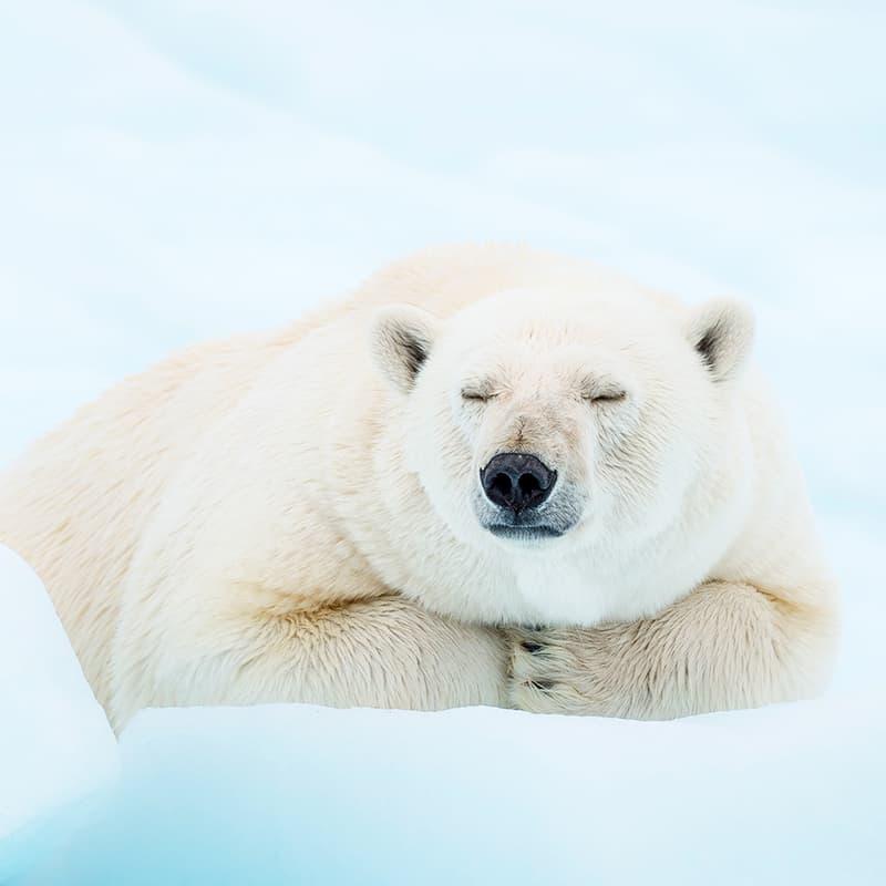 Eisbär schläft