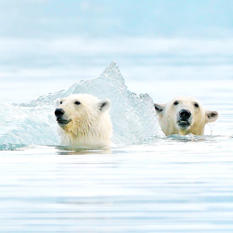 Eisbär schwimmen