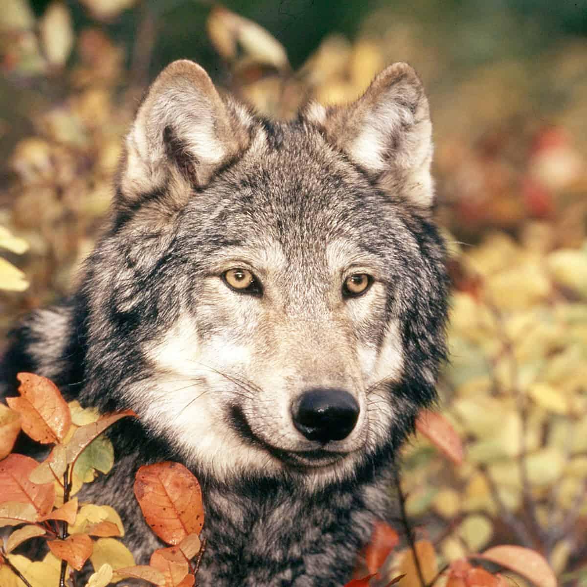 Wolf Herbst