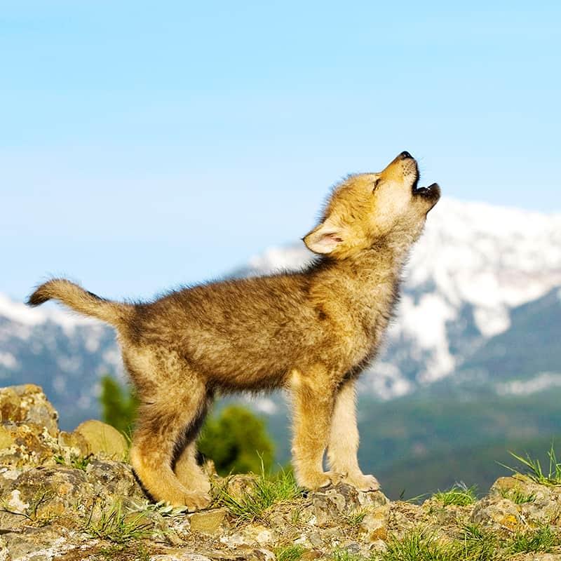 Wolf Jungtier